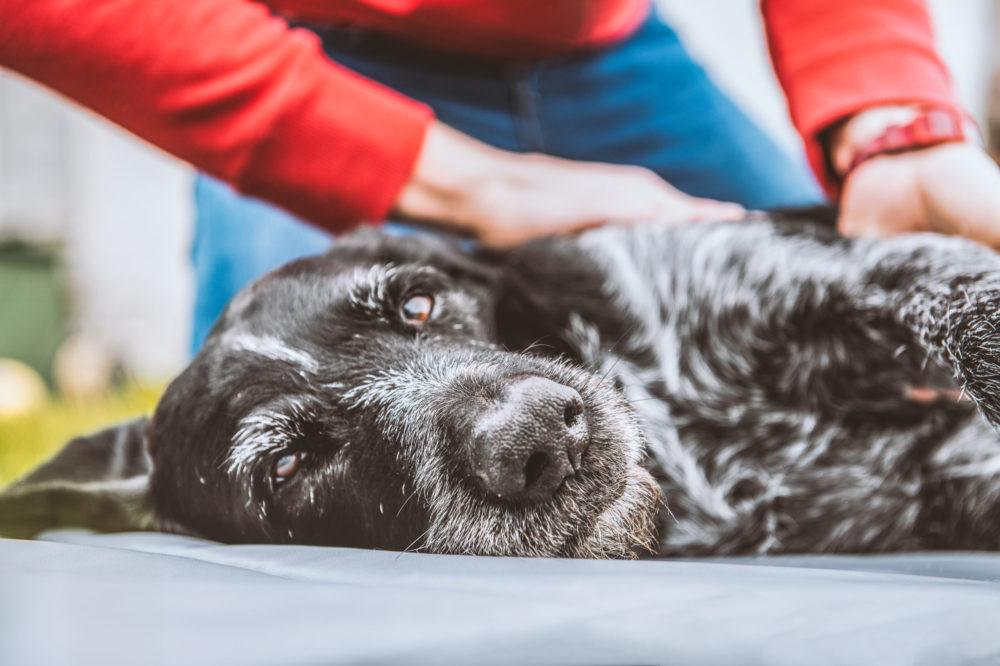 Acupressure_Canine Sports Massage_Animal Physiotherapy_Animal Rehabilitation
